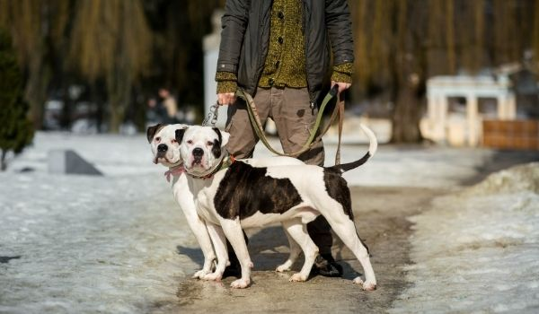 American Bulldog-best dog breeds for protection-keeping-pet