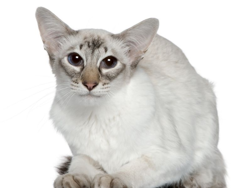 cat breeds with big ears-