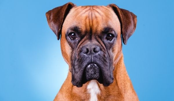 Boxer-best dog breeds for protection-keeping-pet