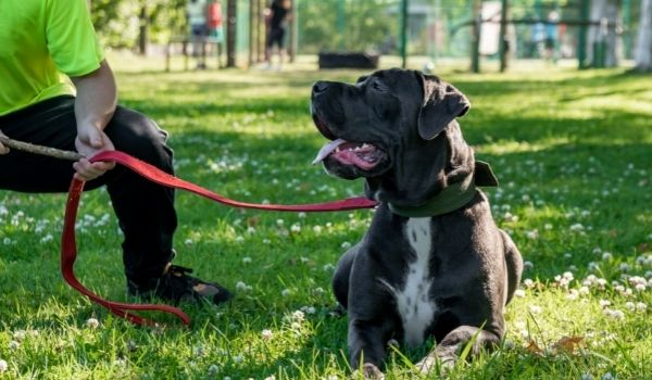 Cane Corso-best dog breeds for protection-keeping-pet