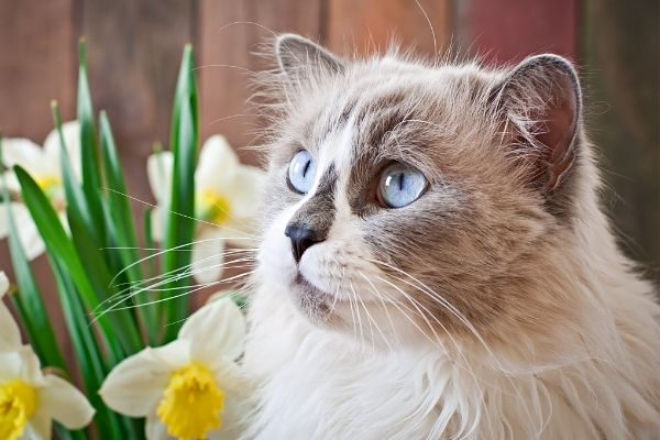 Animal kingdoms finest cats with blue eyes