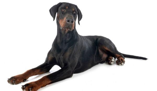 Doberman Pinscher-best dog breeds for protection-keeping-pet