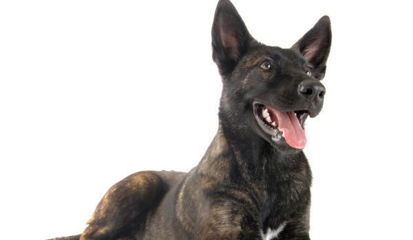 Dutch Shepherd-best dog breeds for protection-keeping-pet