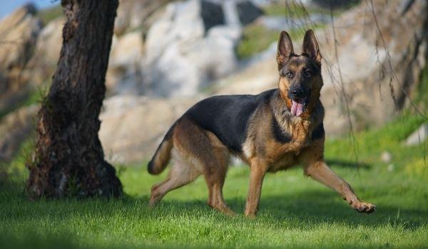 German Shepherd-best dog breeds for protection-keeping-pet