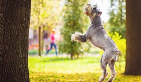 Giant Schnauzer-best dog breeds for protection-keeping-pet