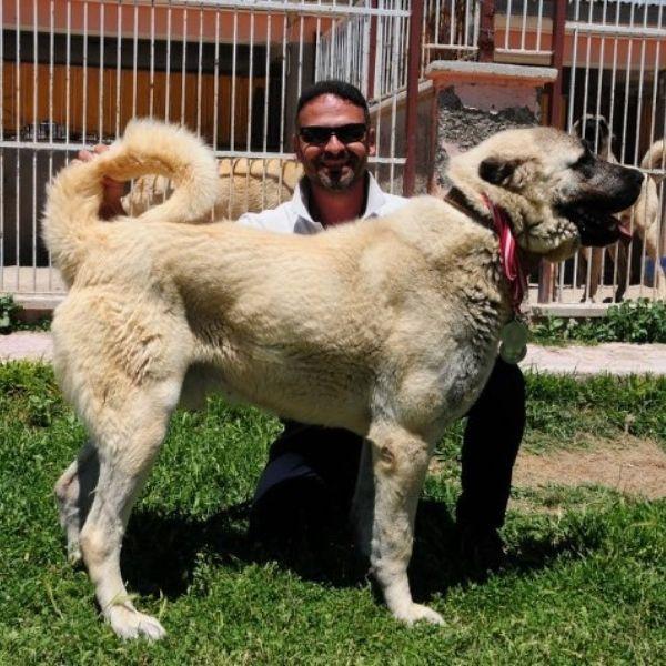 Best guard dogs-Kangal-keeping-pets