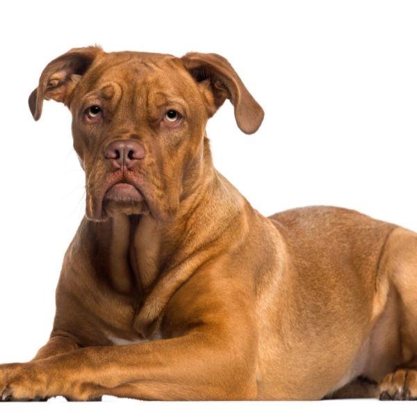 Best guard dogs-4.Dogue De Bordeaux-keeping-pet
