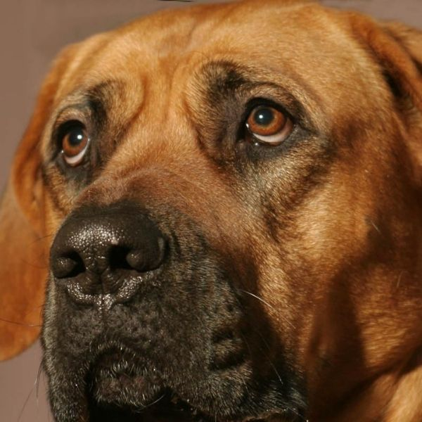 Tosa Inu (Japanese Mastiff)-Best guard dogs-keeping-pet