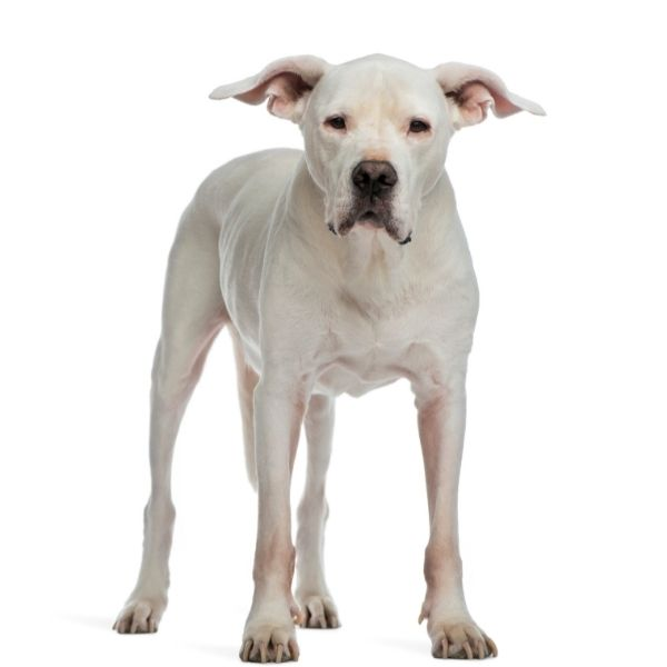 Dogo Argentino-Best guard dogs-keeping-pets