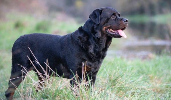 Rottweiler-best dog breeds for protection-keeping-pet