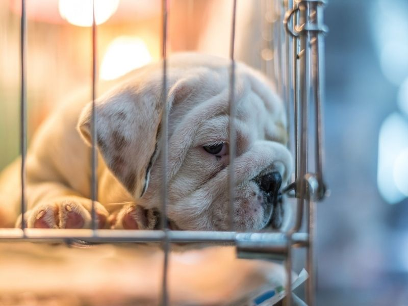 Are puppy mills illegal-keeping-pet
