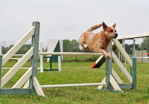 smartest-dog-breeds-Australian-Cattle-Dog