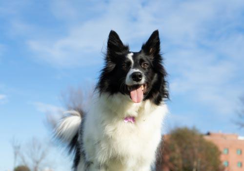 smartest-dog-breeds-border-collie