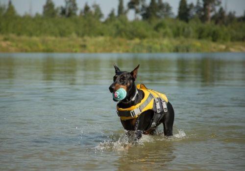 smartest-dog-breeds-doberman-pinscher