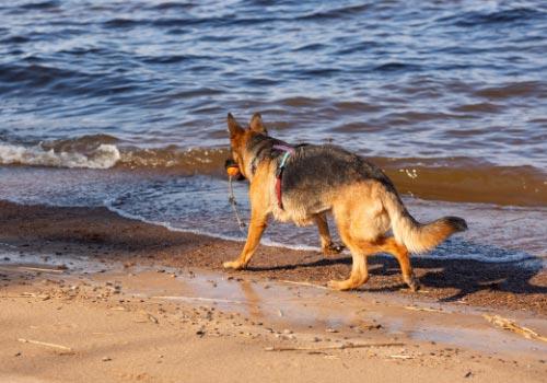 smartest-dog-breeds-german-shepherd
