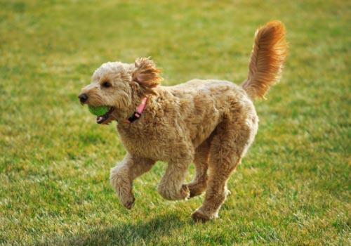 smartest-dog-breeds-golden-doodle