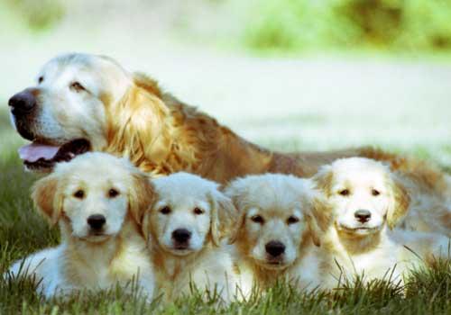 smartest-dog-breeds-golden-retriever