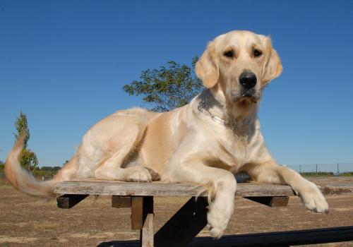 smartest-dog-breeds-labrador-retiever