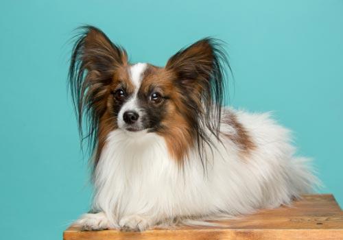 smartest-dog-breeds-papillon
