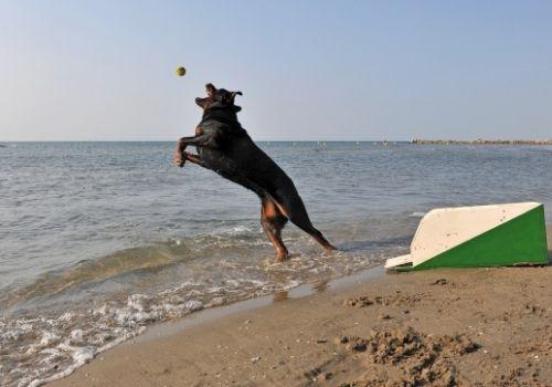 smartest-dog-breeds-rottweilers