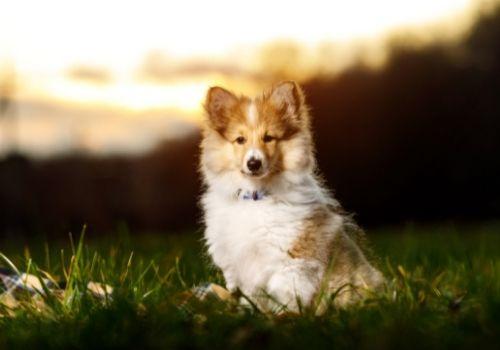 smartest dog breeds shetland sheepdog