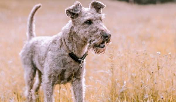Airedale Terrier - how to cool down you puppy