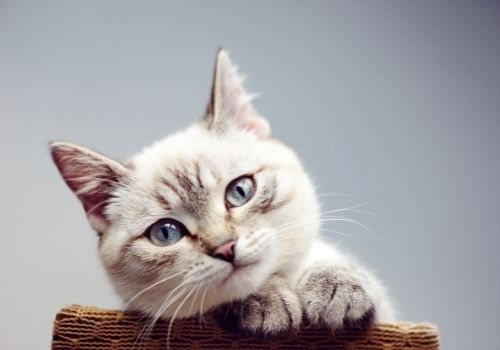 Cat with Beautiful Eyes