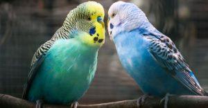 Are Parakeets Loud - keeping pet
