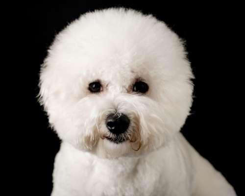 Bichon Frise - teacup dog breeds