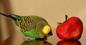 Can Parakeets Eat Strawberries - keeping pet