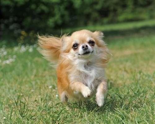 Chihuahua - teacup dog breeds