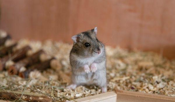 Teddy Bear Hamster-Chinese Hamster
