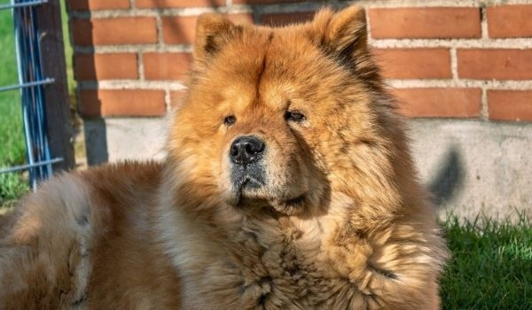 Chow Chow-Cool Down Your Puppy in Hot Weather-Keeping-pet