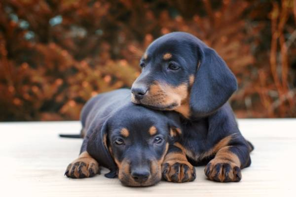 Dachshund - best therapy dogs