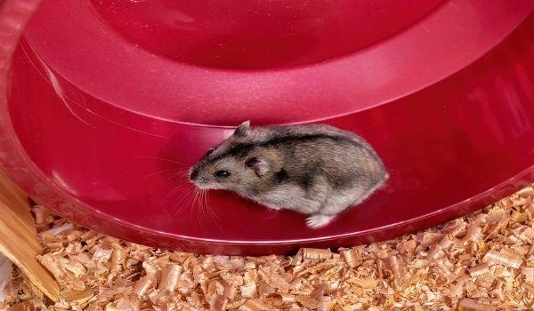 Teddy Bear Hamster-Dwarf Campbell Russian Hamster