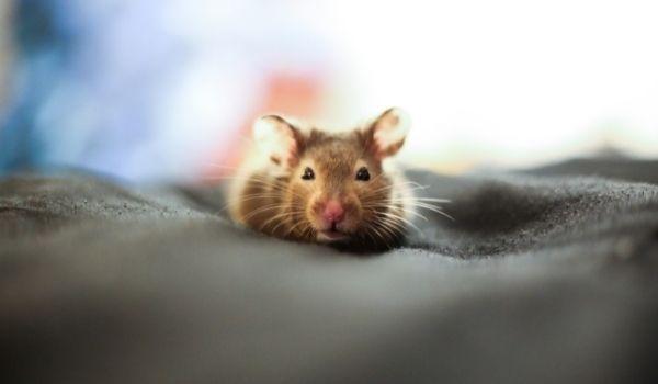 Teddy Bear Hamster-Dwarf Roborovski Hamster