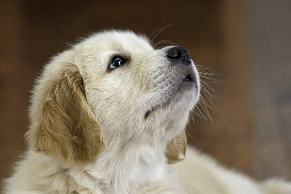 Golden Retriever - best therapy dogs