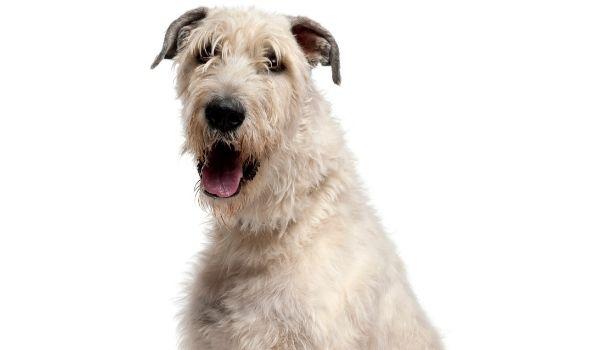 Calmest Dog Breeds-keeping-pet-Irish wolfhound