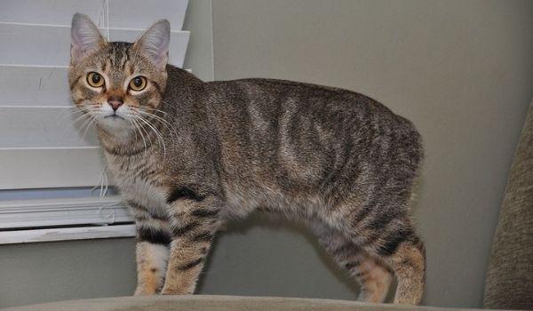 Manx Cat Long Living Cat Breeds