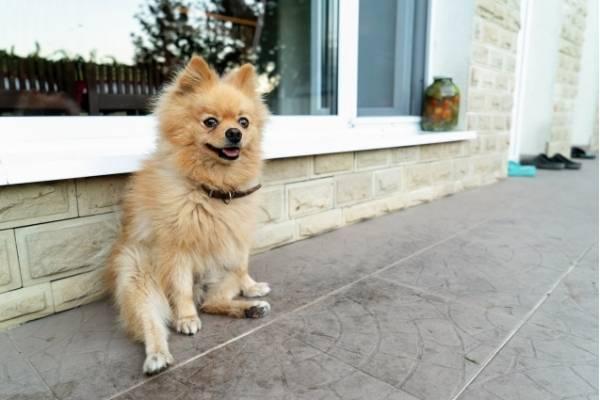 Pomeranian - best therapy dogs