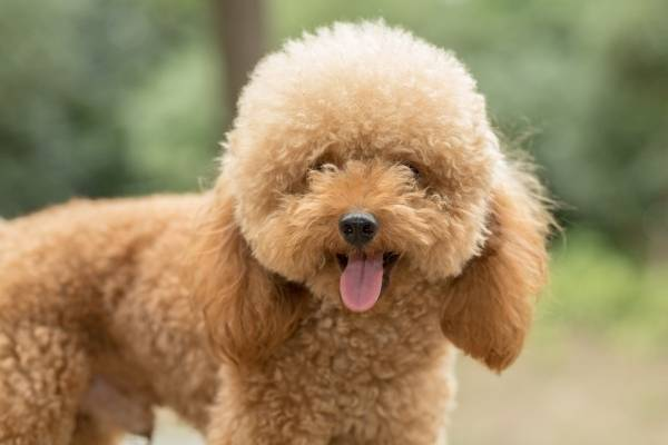 Poodle - best therapy dogs