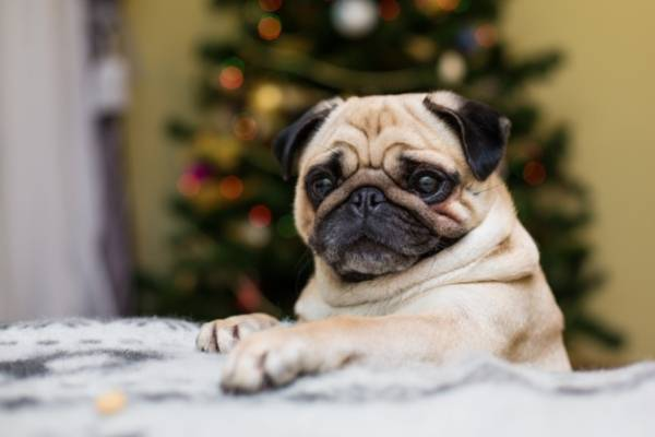 Pug - best therapy dogs