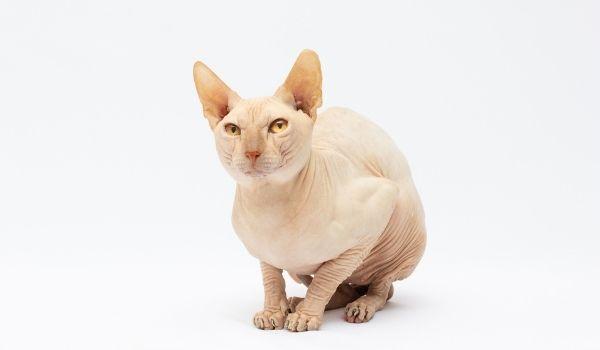 long living cat breeds