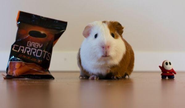 Teddy Bear Hamster-Syrian Hamster
