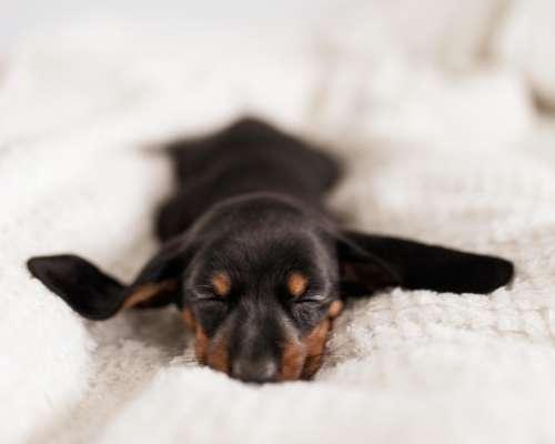 Teacup Beagle - teacup dog breeds