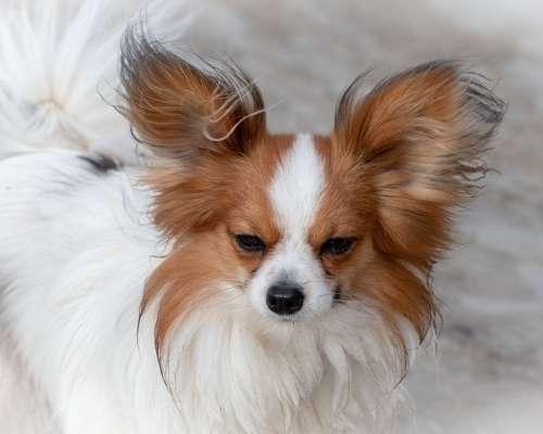 Teacup Papillon - teacup dog breeds