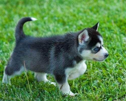Teacup Pomsky - teacup dog breeds