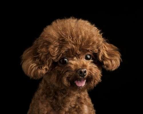 Teacup Poodle - teacup  dog breeds
