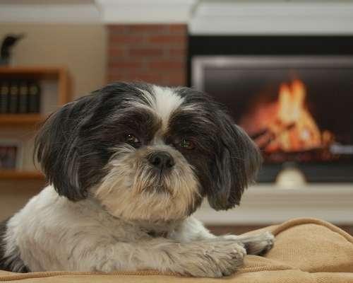 Teacup Shih Tzu - teacup dog breeds