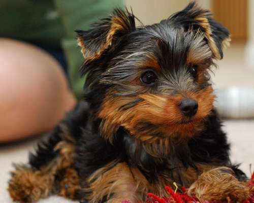 Teacup Yorkshire Terrier - teacup dog breeds